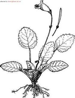 longifoliacraib和鄂西粗筒b.speciosa