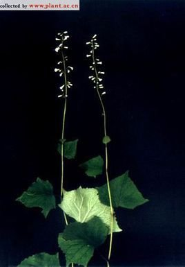 长柱琉璃草属lindelofia