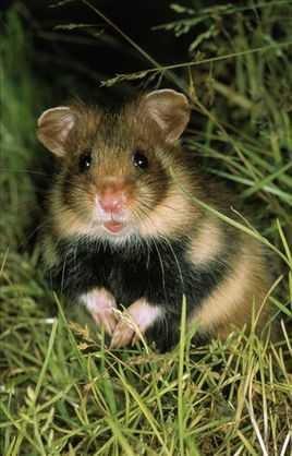 词条标签:仓鼠科动物原仓鼠属啮齿目生物自然