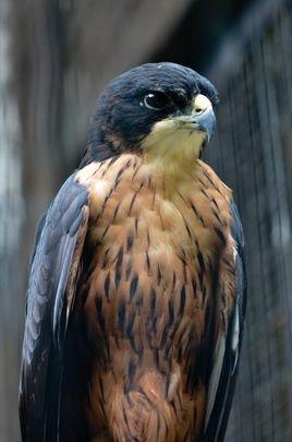 属于国家二级重点保护野生动物