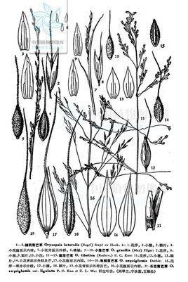 少穗落芒草 oryzopsis