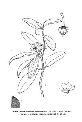 彩铅手绘花朵 杜鹃花