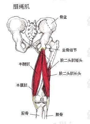 所有的这些肌肉均跨越膝关节,半腱肌和半膜肌向下止于胫骨内侧,而股二