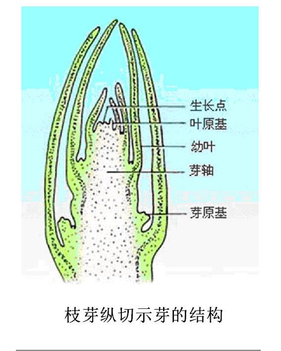 活动芽: 芽形成以后,当年能够发育并长出新枝的;或者当年夏秋形成的,经过冬季休眠,到来年春天才发育生长的。 休眠芽(或潜伏芽): 有些植物的芽,在正常情况下,长期保持休眠状态,不发育成枝条。有些植物的休眠芽,在这株植物的整个生活期间,都停留在休眠状态;有些休眠芽则在休眠多年之后,又开始活动,发育成新枝。一般说来,老树干上生出的新枝,大都是由休眠芽发育而成的,柳、榆等就常有这种休眠芽。 按芽生长位置分:在枝条上有固定的着生位置的芽称为定芽。着生在枝条顶端的定芽称为顶芽,着生在叶腋的定芽为侧芽(腋芽)。生长在