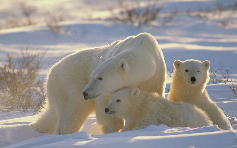 北极都有什么动物
