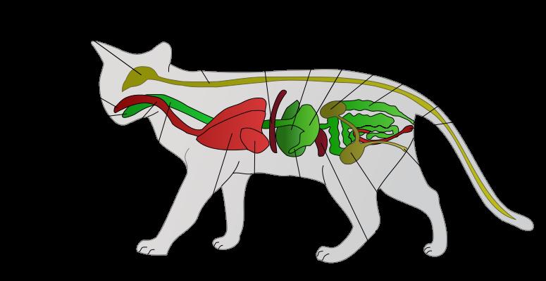猫的牙齿排列方式异于其他动物猫共有30个牙齿包括12颗小门齿上下颌