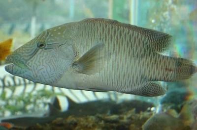 饮食,养生  苏眉属隆头鱼科,学名称为波纹鱼,主要分布在我国的海南