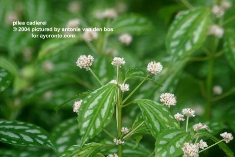 竹叶冷水花
