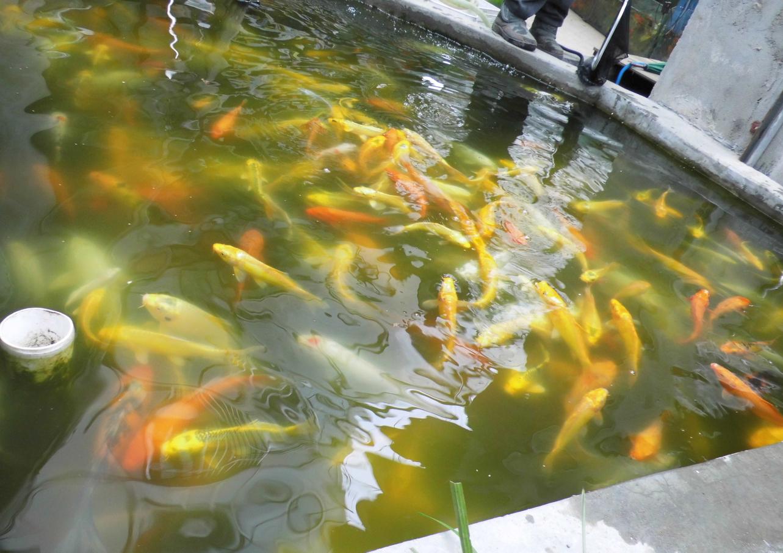 鱼在水中游鲤鱼