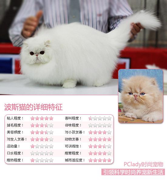 故此毛色的波斯猫也十分珍贵